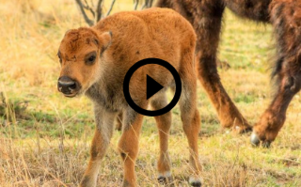 baby bison with link to video
