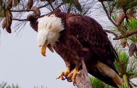 bald eagle in pine tree, calling