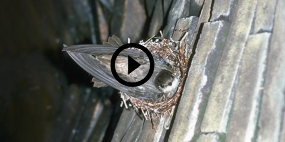 chimney swift on its nest in a chimney, link to video