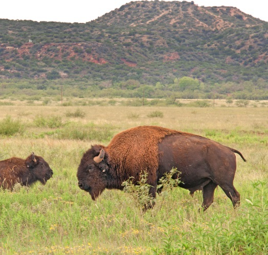 bison in front of mesa