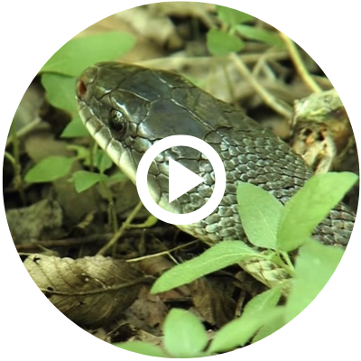 rat snake head in leaves, video link