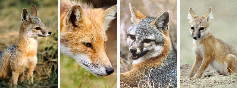 kit fox, red fox, gray fox, swift fox