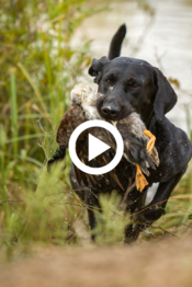 black retriever with duck, video link