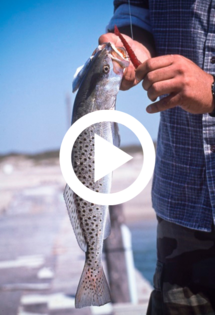 man holding sea trout, video link