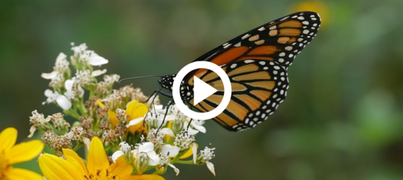 Monarch on white flower, link to video