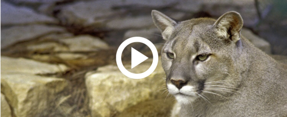 mountain lion, video link