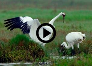Whooping cranes, video link