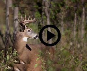 buck looking over his shoulder, link to video