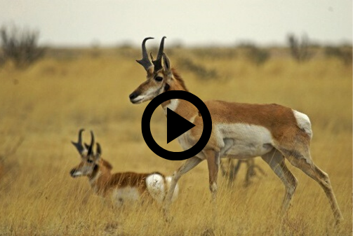 pronghorn pair with video link
