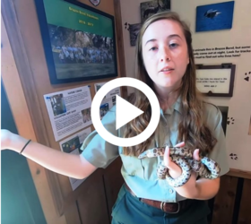 female volunteer holding snake, video link