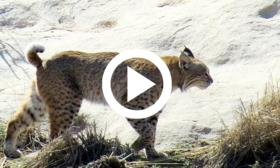 bobcat, video link