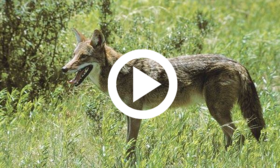 coyote, video link