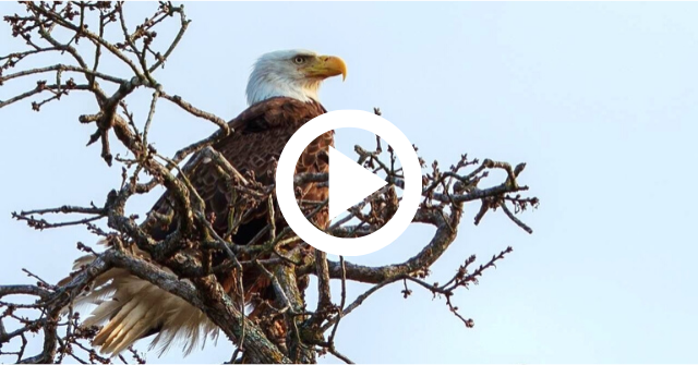 bald eagle, video link