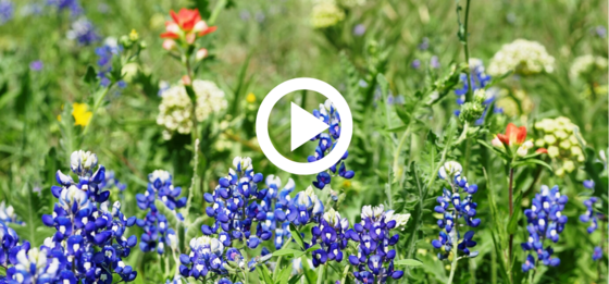 Bluebonnets and other wildflowers, play button