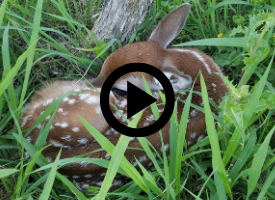 fawn, with video link