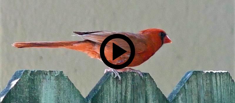 cardinal bird on a fence, video link