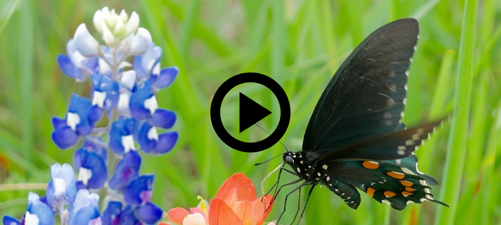 black butterfly on Indian Paintbrush flower, video link
