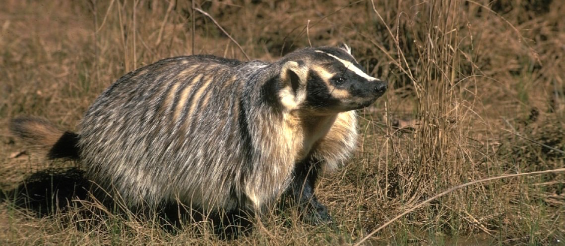 American badger in Texas