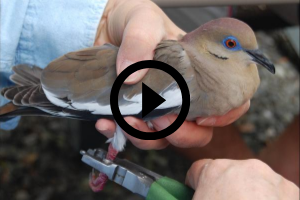 dove being banded, video link