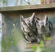 2 sleepy screech owls in an owl nestbox