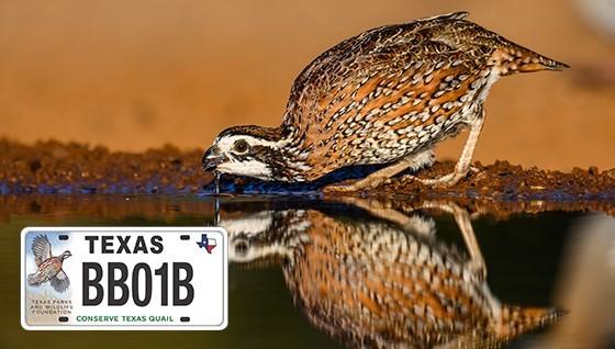Quail and quail license plate, link