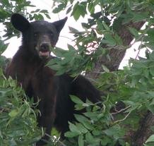 black bear in a pecan tree