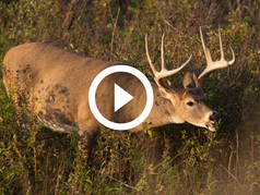 Buck eating vegetation, video link