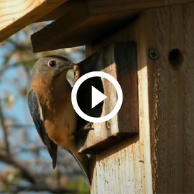Bluebird entering nest box, play button, video link