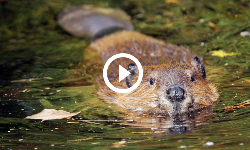 North American beaver swimming, link to video