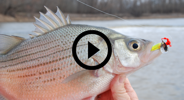 white bass with video link