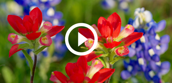 Indian paintbrush and bluebonnet flowers, with video link