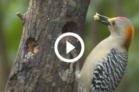 sapsucker on feeder, video link