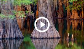 Caddo Lake cypress trees, video link