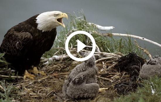 Bald eagle in nest, calling, video link