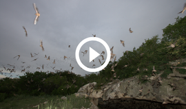 bats emerge from cavern, video link