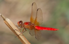 red neon skimmer dragonfly