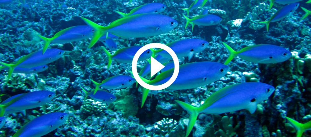 School of blue fusilier fish at Flower Gardens, video link