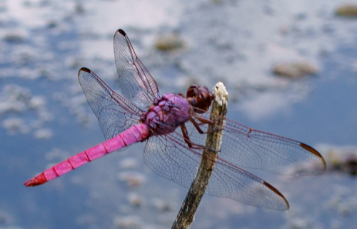 pink dragonfly on a stick overlooking a pond