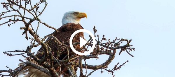 Bald eagle on a tree, video link
