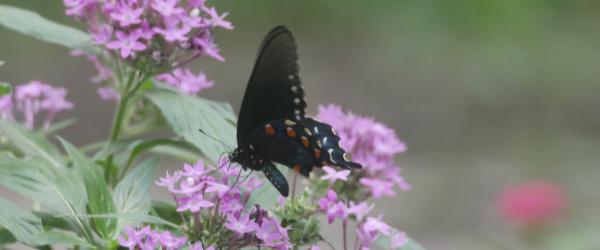 black swallowtail butterfly on penta