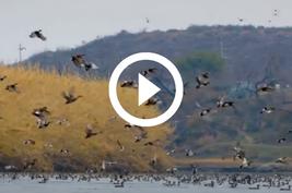 ducks in flight over lake, video link