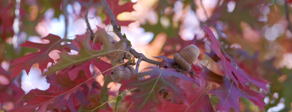 Red oak leaves and acorns