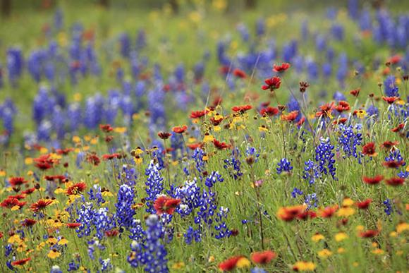 Native Texas Wildflowers