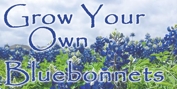 Grow Your Own Bluebonnet