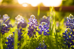 Bluebonnets with Sun