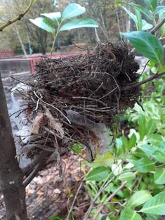 Plastic gloves in bird nest at Savernake Park
