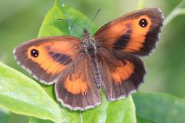 Gatekeeper butterfly, by Rob Solomon