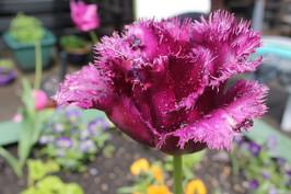 Fringed Purple Tulip - Cloverlands Court