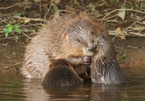 Beaver female with kits
