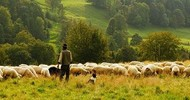 farmer with a flock of sheep and sheep dog in a valley of woodland and pasture